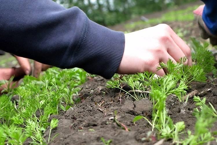 Как правильно посадить морковь, чтобы она выросла большой и вкусной