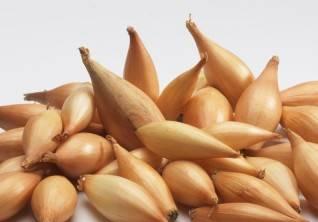 Лук сорта бирнформиге: описание и фото, севок и семена для посадки, правила выращивания и ухода, борьбы с болезнями и вредителями