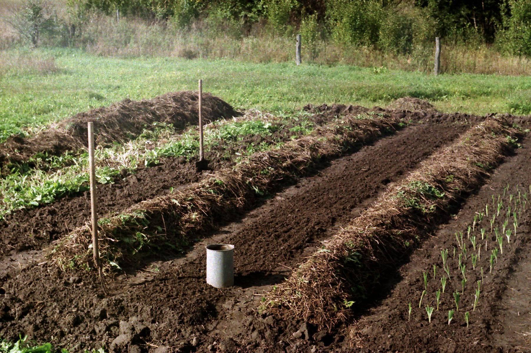 Посадка клубники осенью под зиму когда и как посадить, ухаживать