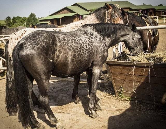 Карачаевская порода лошадей: описание, характеристики и фото