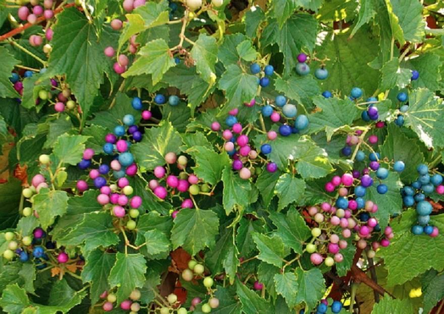 Виноградовник - ampelopsis фото лианы, описание, размножение