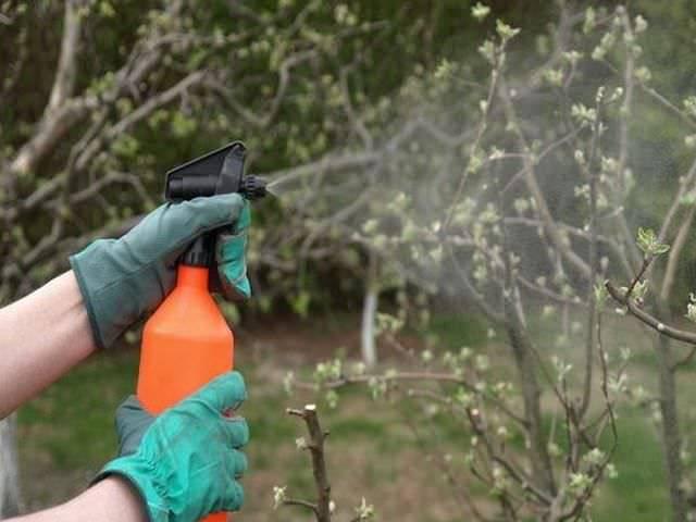 Спасение огорода: препарат ордан от фитофторы, альтернариоза и пероноспироза
