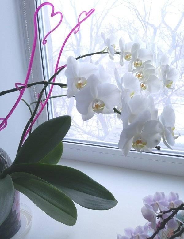 Орхидея фаленопсис: описание и уход в комнатных условиях