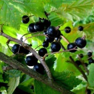 Смородина багира и другие среднеспелые сорта черной смородины