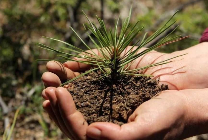 Как вырастить кедр дома. проращивание семян кедра