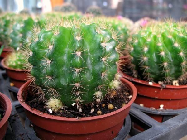 Как ухаживать за кактусом и поливать его в домашних условиях?