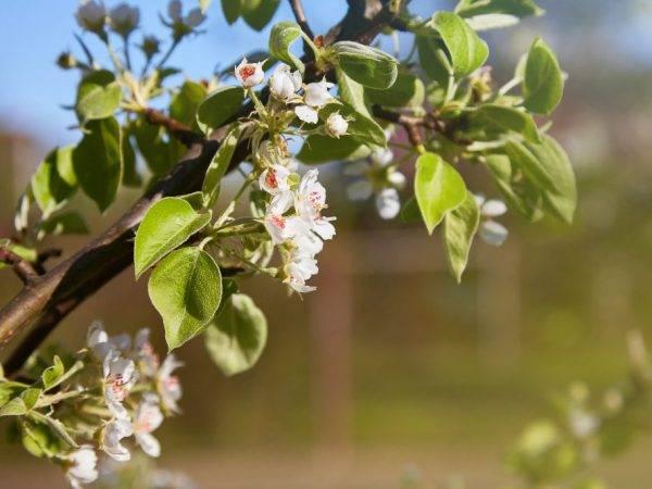 Почему не цветет и не плодоносит груша: 3 причины и что делать с ними