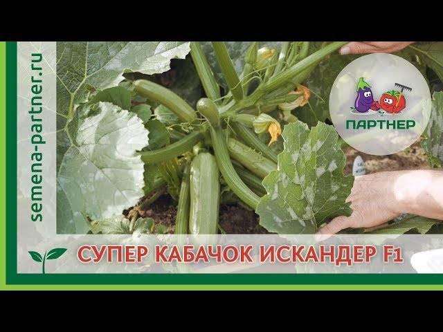 Кабачок искандер f1: характеристика и описание гибрида, выращивание и уход