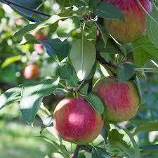 О яблоне мечта: описание и характеристики сорта, посадка и уход, выращивание
