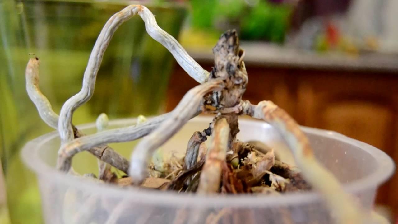 Корневая гниль на орхидее: помощь начинающим цветоводам. что делать, если все корни загнили?