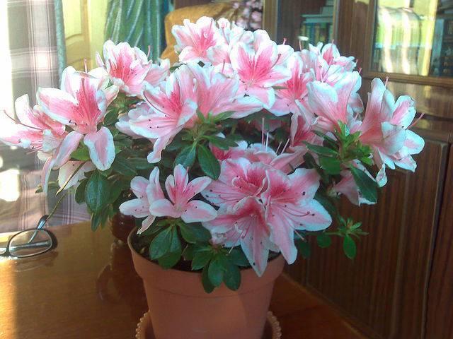 Азалия – домашний цветок и садовое растение. уход, листья, цветы. как ухаживать за азалией в домашних условиях и в саду