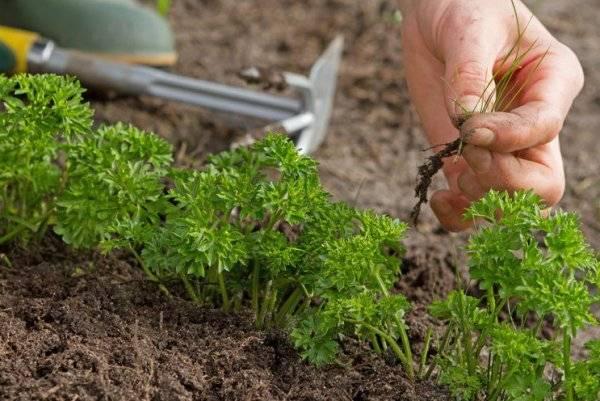 Посадка петрушки весной в открытый грунт: ссоветы