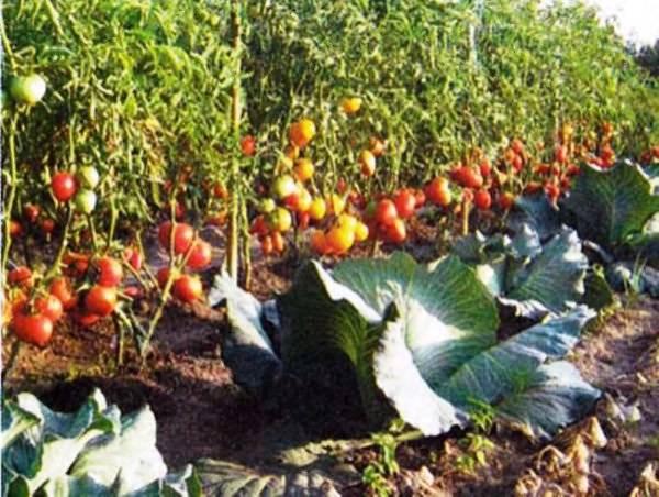 Как поливают помидоры после посадки