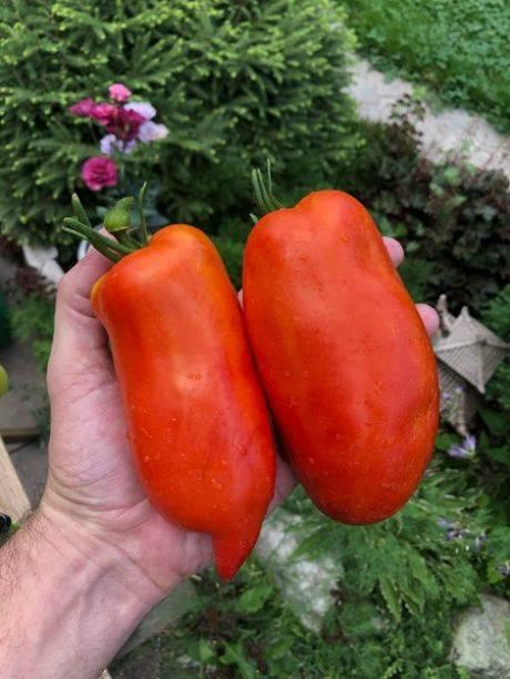 Помидор корнабель f1 описание сорта с фото, характеристика, урожайность отзывы кто сажал