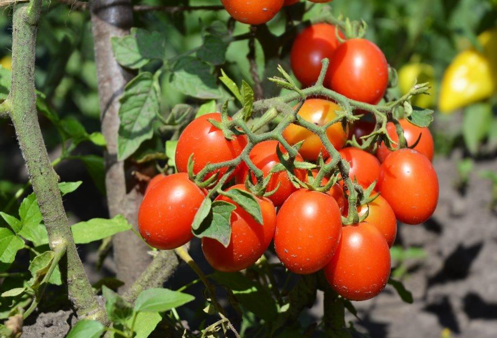 """Томат черри ира f1 - описание сорта, отзывы, урожайность - журнал """"совхозик"""""""