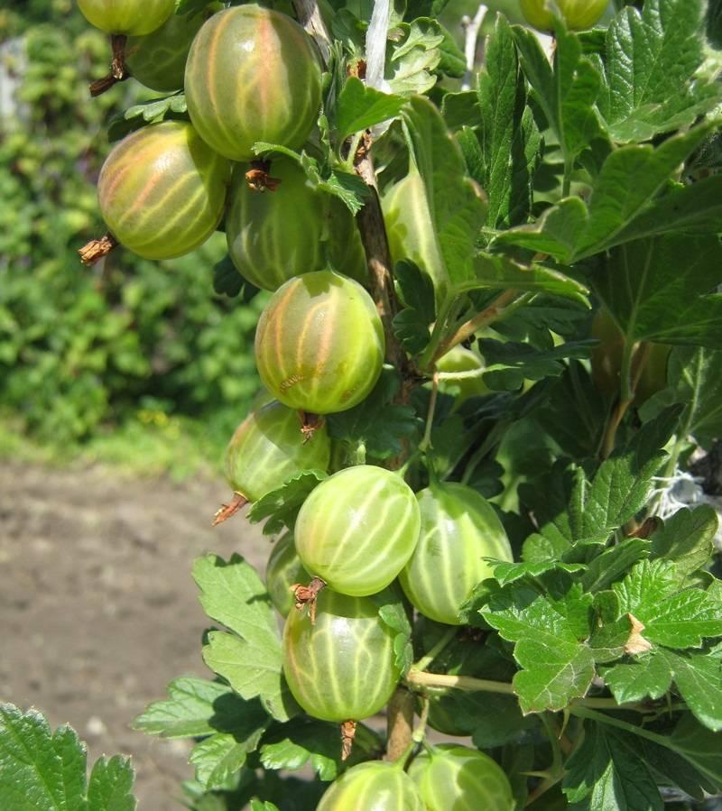 Крыжовник черный негус: описание сорта и выращивание, видео и фото