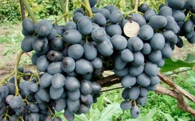 """Виноград """"чарли"""": описание сорта, фото, отзывы"""