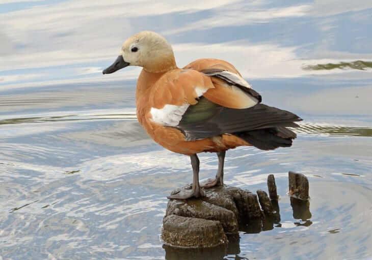 Огарь (красная утка): фото, описание породы