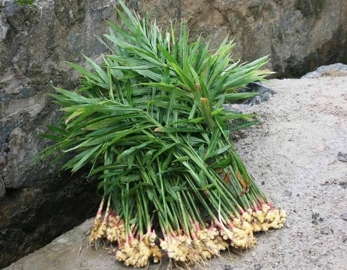 Как выращивать имбирь на огороде: можно ли возделывать корень в открытом грунте в подмосковье и средней полосе россии, как это сделать у себя на даче? русский фермер