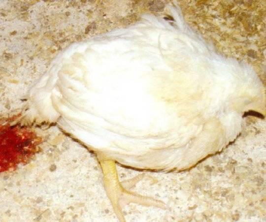 Уход за суточными цыплятами в домашних условиях