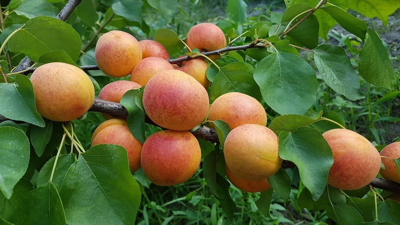 Абрикос персиковый: описание сорта, достоинства и недостатки, история селекции