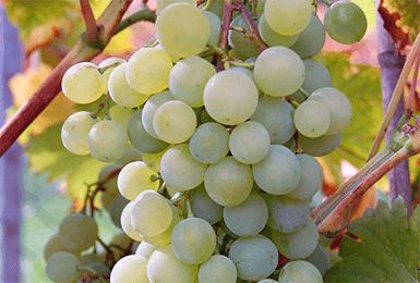 Виноград краса никополя: описание сорта, фото, отзывы — selok.info