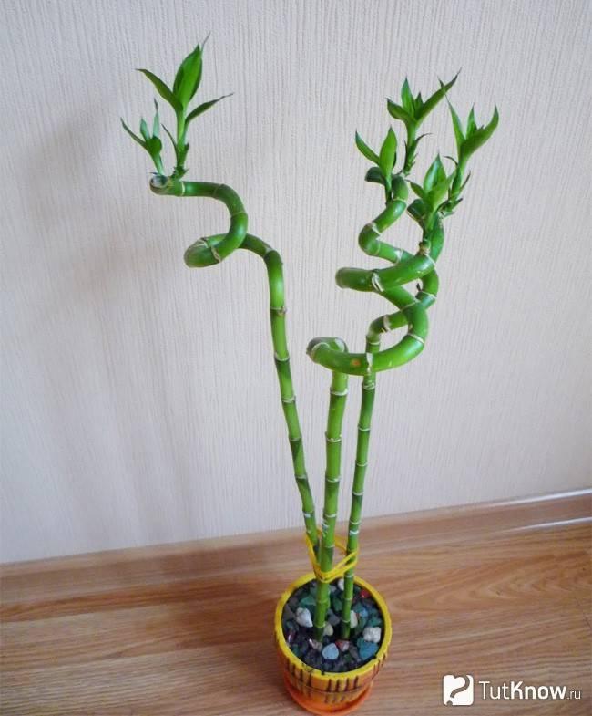 Несколько способов как вырастить и размножить бамбук в домашних условиях
