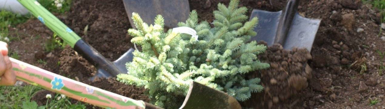 Как вырастить голубую ель: обзор технологии выращивания из семян и черенкованием