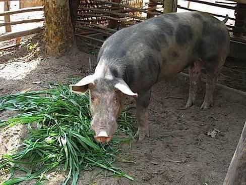 Биодобавки и стимуляторы для роста свиней: обзор, состав, особенности применения и отзывы