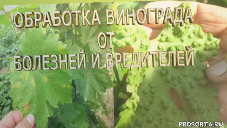 Болезни и вредители винограда и борьба с ними