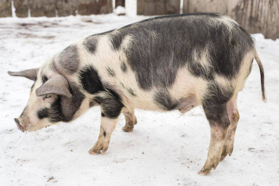 Миргородская порода свиней