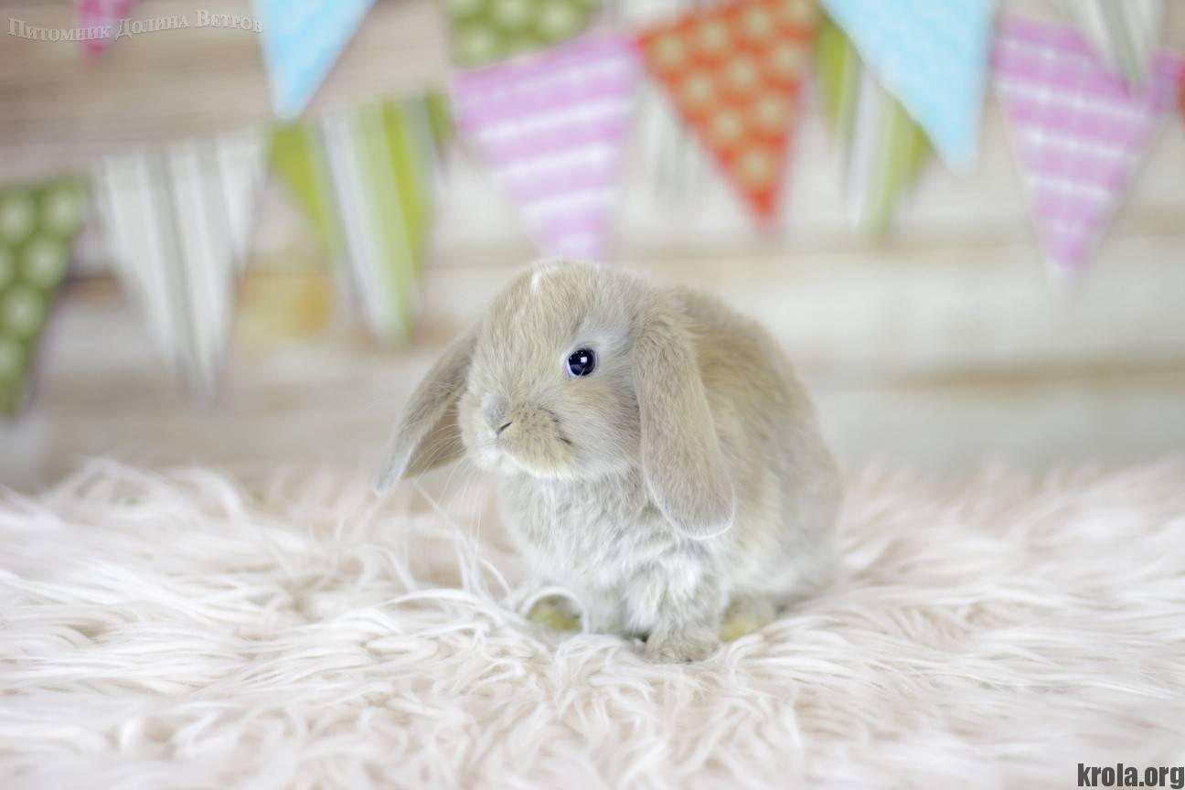 Виды и породы декоративных кроликов: описание, срок жизни, питание в домашних условиях и фото виды и породы декоративных кроликов: описание, срок жизни, питание в домашних условиях и фото