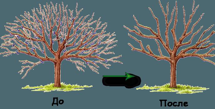 Обрезка сливы весной для начинающих: формирование кроны, схема в деталях с подробным описанием, фото и видео