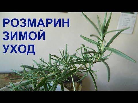 Розмарин: выращивание, посадка и уход в открытом грунте из семян и черенками, как правильно посеять и размножать, посадка на рассаду, подготовка почвы