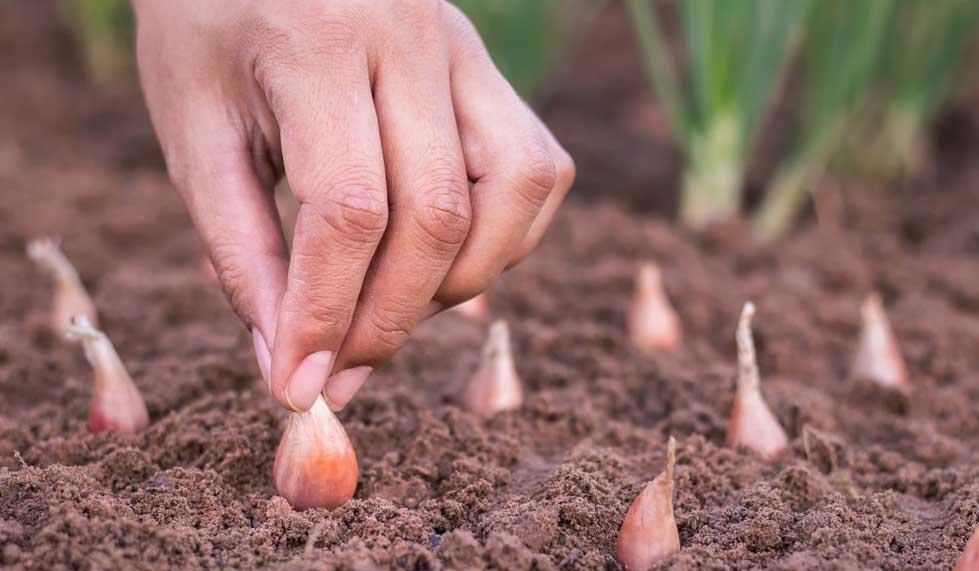 Правила высадки лука-севка в открытый грунт