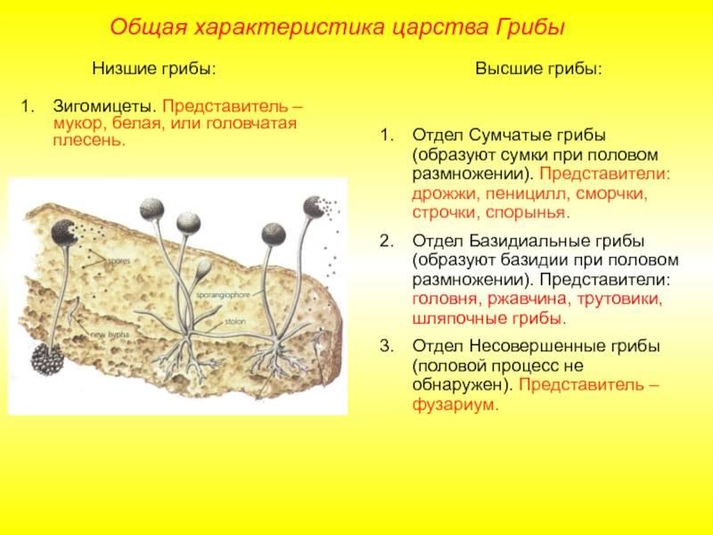 Несовершенные грибы - fungi imperfecti - wikipedia