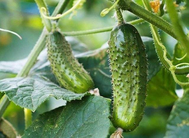 Огурец маринда f1: отзывы огородников о преимуществах и недостатках сорта, рекомендации по его выращиванию