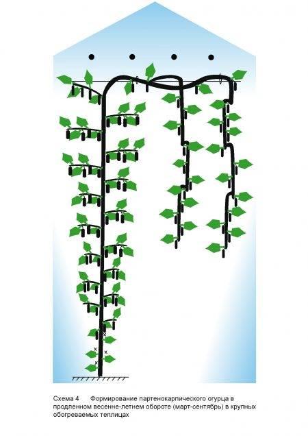 Схема обрезки огурцов в теплице: как правильно обрывать лишние листья у культуры