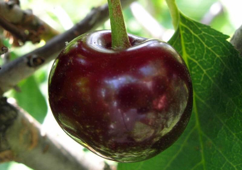 Вишня шоколадница: отзывы, фото, описание и выращивание сорта