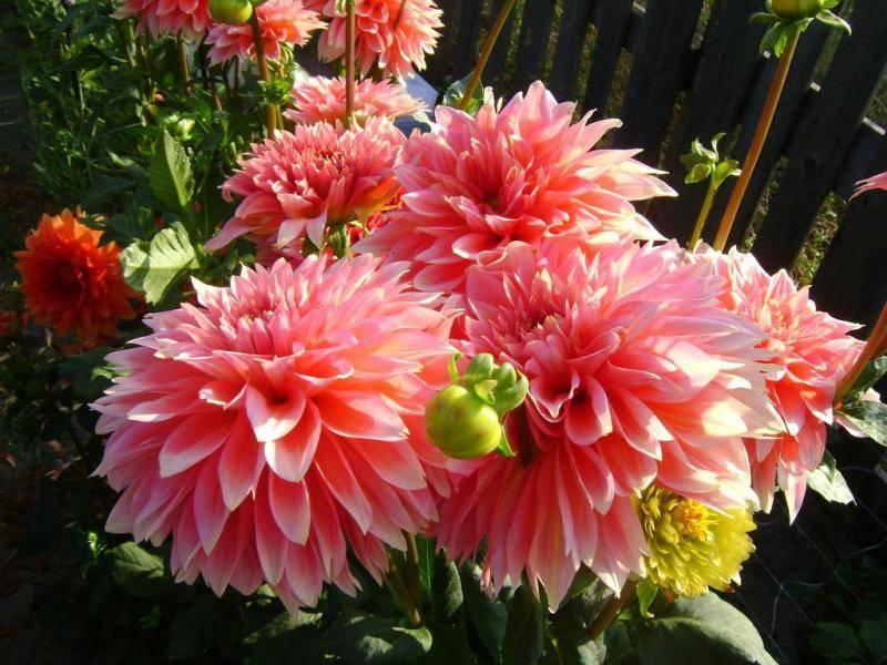 Как выращивать георгины и хранить их зимой, полив и подкормка георгин на даче