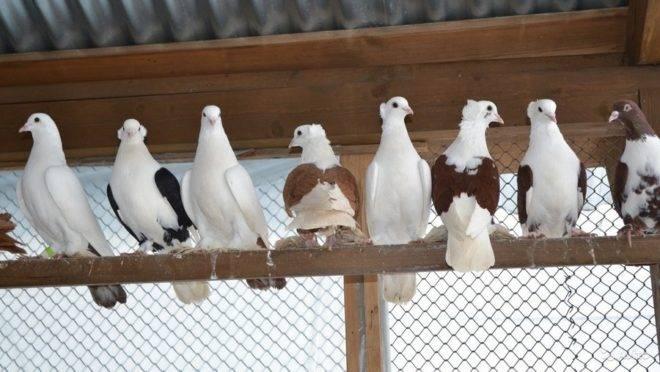 Армавирские короткоклювые голуби: описание и характеристика, разведение