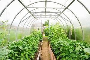 Выращивание огурцов в теплице из сотового поликарбоната