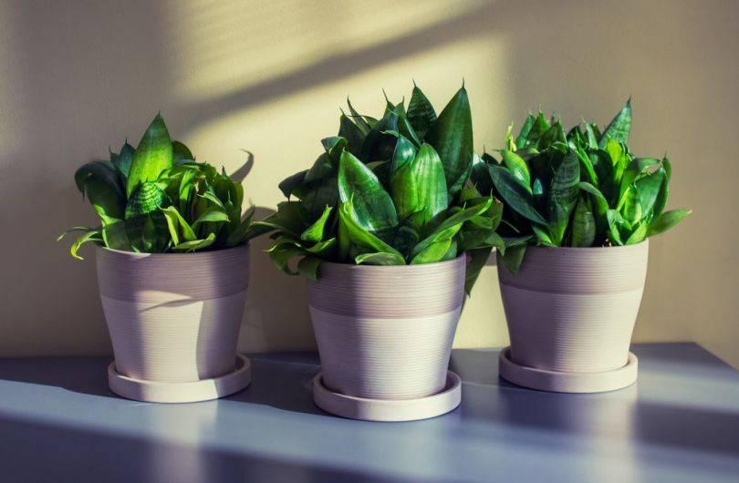 Необычное растение со звучным названием — cансевиерия лауренти. советы по уходу в домашних условиях и фото