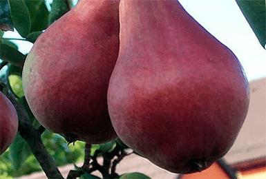 Фаворитка груша описание сорта