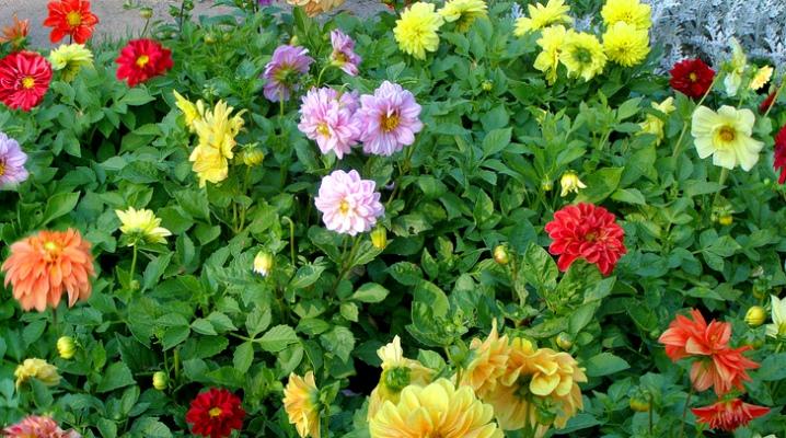 Однолетние георгины – выращивание рассадой и семенами, уход