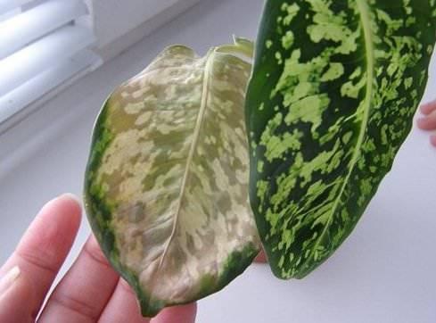 Желтеющие листья диффенбахии, ответы на многие вопросы: почему так происходит и что делать в таких случаях?