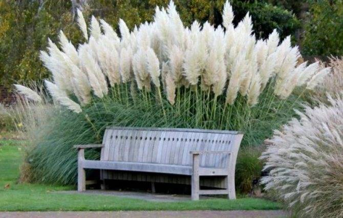 Пампасная трава (50 фото): что такое кортадерия (cortaderia)? особенности посадки и ухода в открытом грунте. кортадерия серебристая для дачного участка