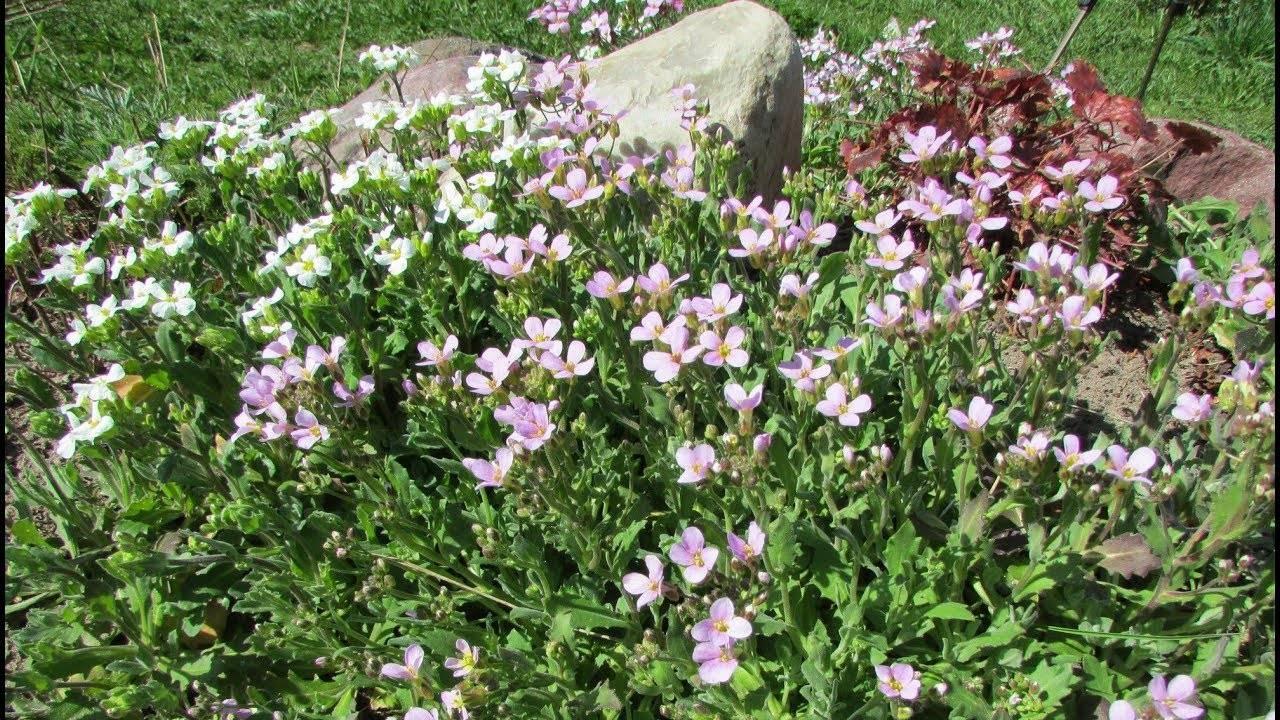 Арабис альпийский травянистые растения для открытого грунта: выращивание из семян, фото, посадка и уход