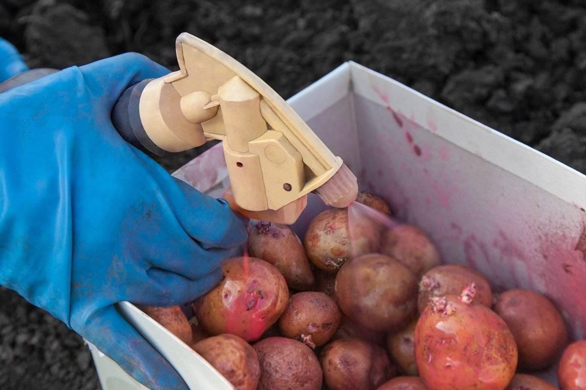 Обработка картофеля от колорадского жука и проволочника