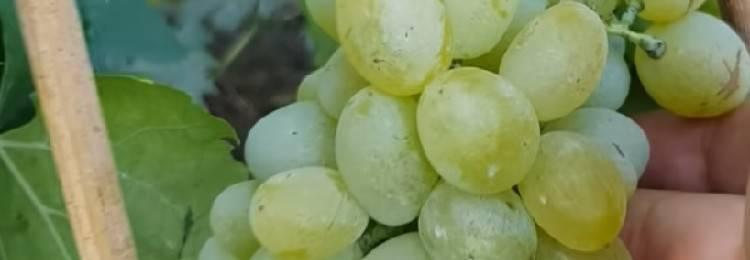 Виноград элегант сверхранний: описание сорта, требования к выращиванию